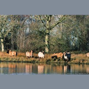 Fen Ponies by Water