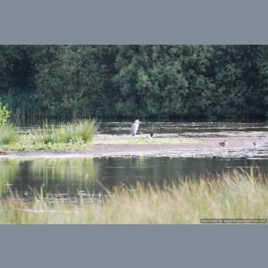Heron at Fen