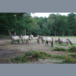 Polish Ponies on Fen